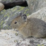 USFWS, Pick pikas for protected status!