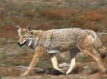 Where the Wild Things Are: Wily Coyote